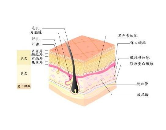皮肤表层结构图